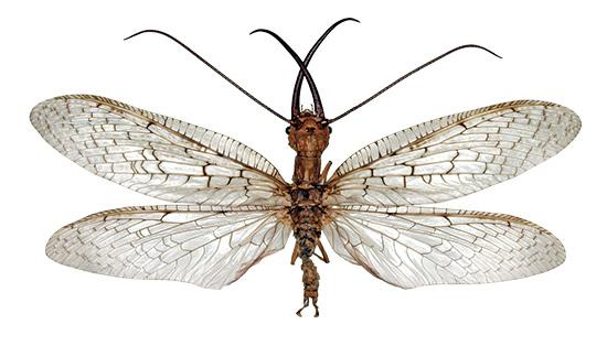 Corydalis sp.