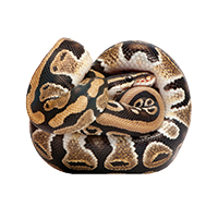 Young Python regius (10 months old) in front of a white background